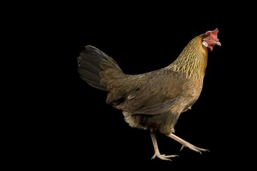 A Brown leghorn hen chicken | Chicken Breeds | Pinterest