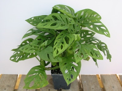 swiss cheese philodendron