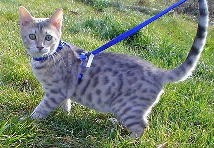 a bengal cat on a leash cat breeds that can walk on a leash pint. Black Bedroom Furniture Sets. Home Design Ideas
