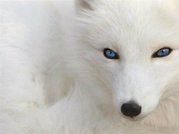 Arctic fox looks like an albino version of my sake
