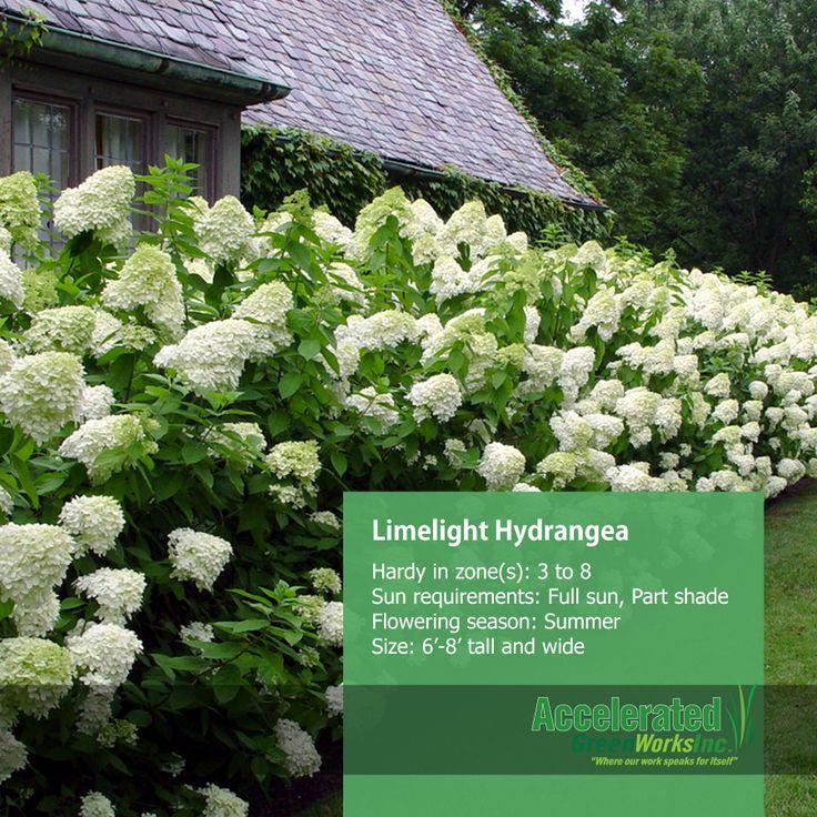 Limelight hydrangea shrubs pinterest for Limelight hydrangea