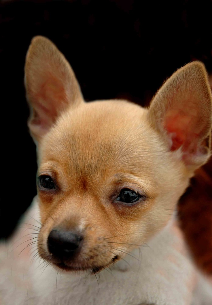 Chihuahua Dog Training Tips http://tipsfordogs.info/90dogtrainingtips/
