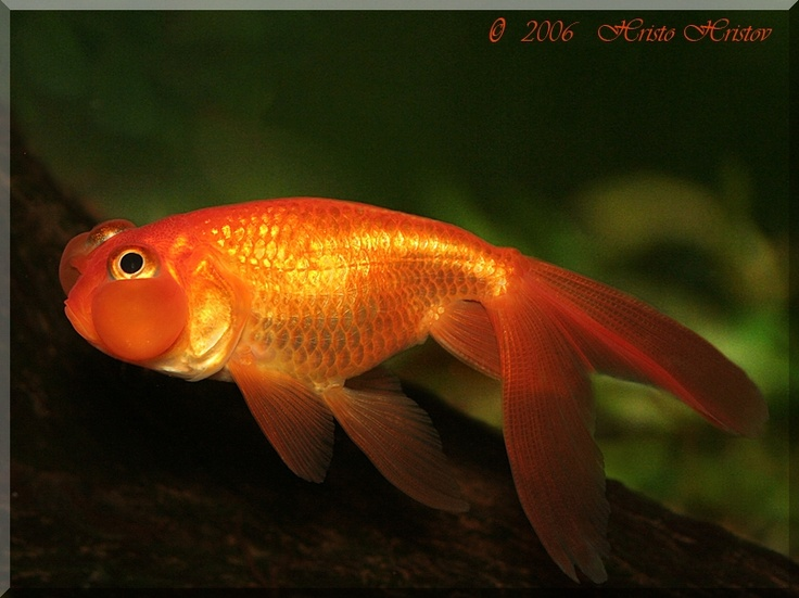 bubble eye Fish Tank for Dom Pinterest