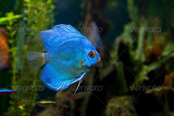 Blue Discus  : Blue Diamond Discus Fish Aquaria Pinterest