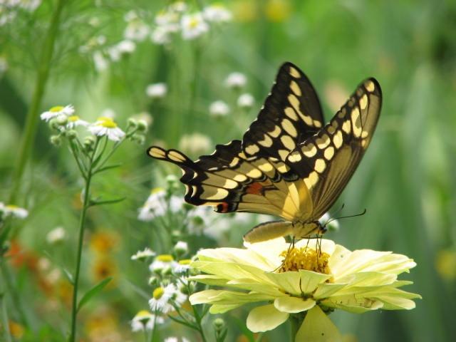 butterfly yellow zinnia garden ideas pinterest