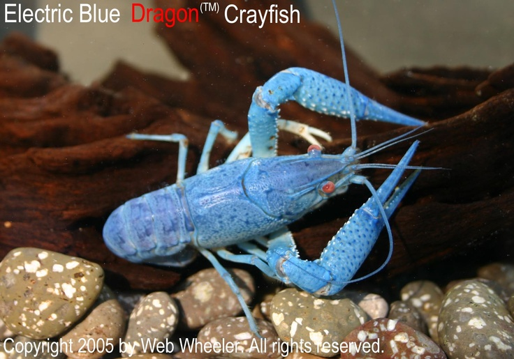 Blue Morph Crayfish Procambarus alleni Photographed by Web Wheeler