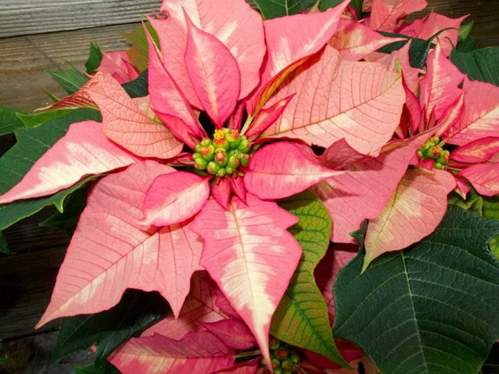 Sparkling Punch Poinsettia poinsettia punch recipes — dishmaps