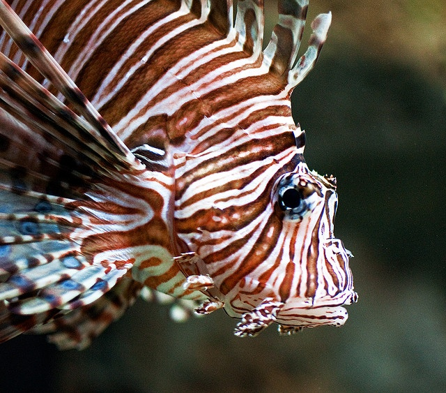 Lion fish awesome stripes pinx pets for Tiger striped fish