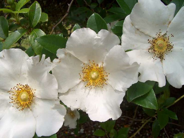 The Legend Of The Cherokee Rose Hot House Pinterest