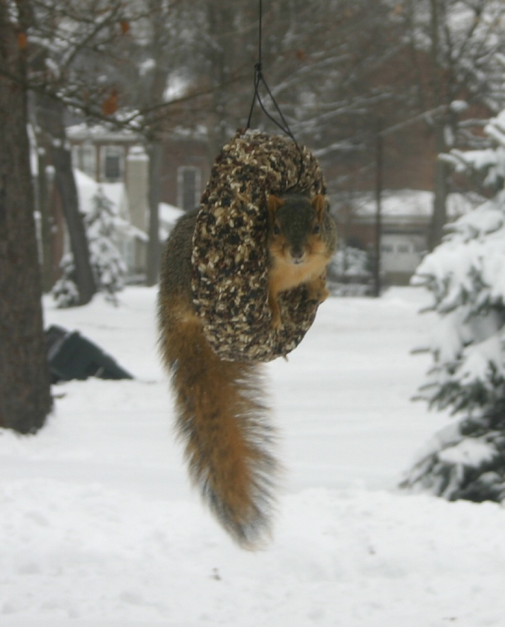 Squirrel in the bird seed wreath. (photo by Terry)