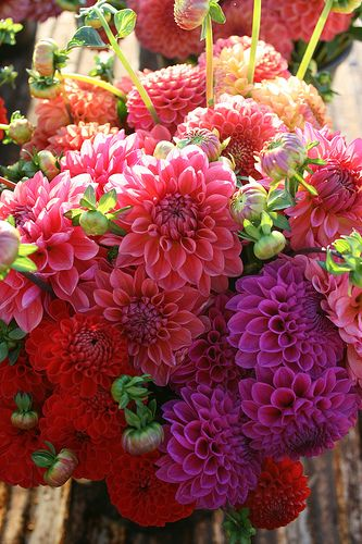 Dahlias** so this is what they actually look like?! I've only ever seen them in the green sticking stage in the greenhouse