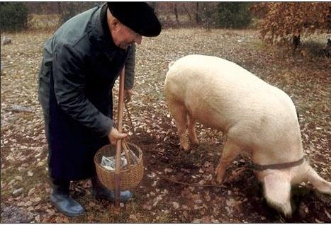 pigs find truffles