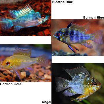 German blue ram for the aquarium pinterest for German ram fish