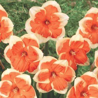 Centannees Split Cup Daffodil