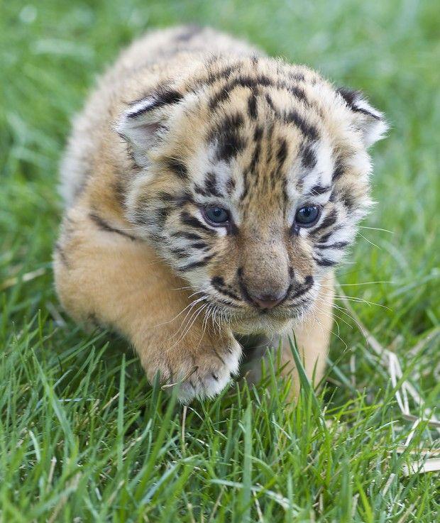 siberian tiger  aw