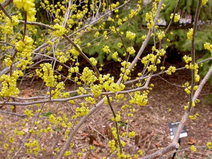 Spicebush (Lindera benzoin) : Backyard Habitat : Pinterest