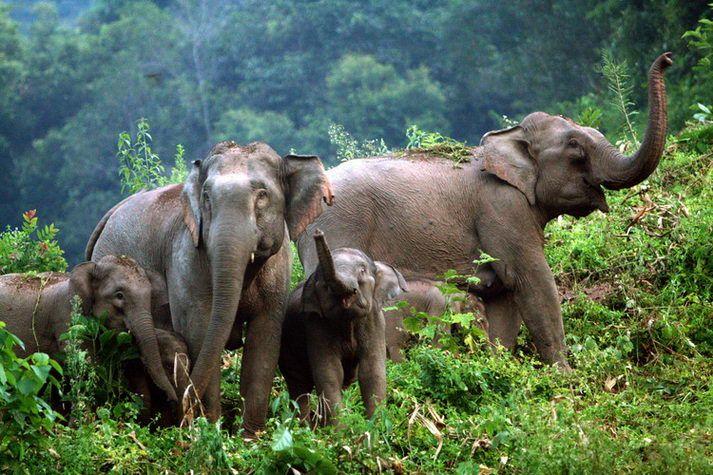 Wild Asian Elephants in Xishuangbanna Yunnan, China