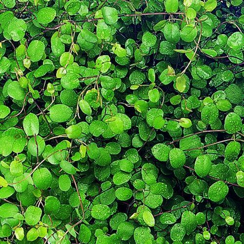 maidenhair vine plant