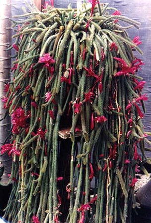 aporocactus flagelliformis plants pinterest. Black Bedroom Furniture Sets. Home Design Ideas