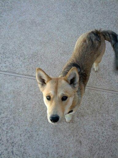 My Coyote Husky mix Athena.   Athena   Pinterest