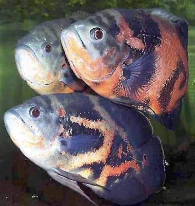 Tiger oscar aqua pets pinterest for What is an oscar fish