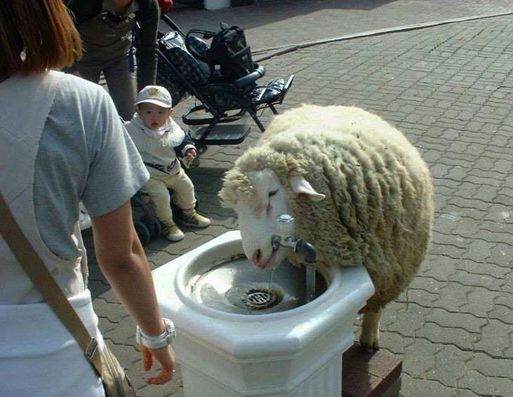 sheep. drinking fountain. what...
