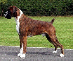 Flashy Brindle Boxer!