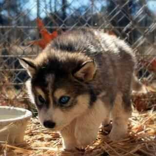 Cute wolf puppy | Cute Little Animals - 15.5KB