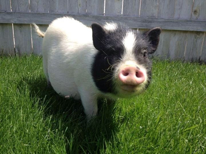 Miniature pot belly pigs dog breeds picture - Pot belly pigs as indoor pets ...