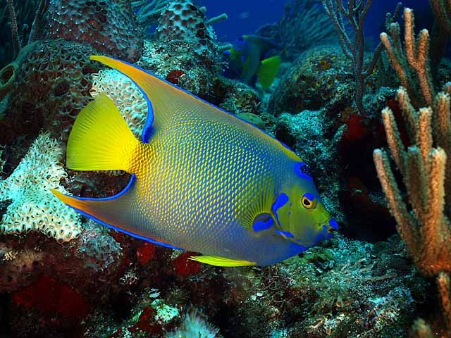 Queen angelfish holocanthus ciliaris under the sea for Jims exotic fish