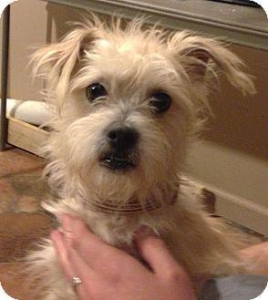 Poodle (Miniature)/Cairn Terrier Mix | awwww | Pinterest