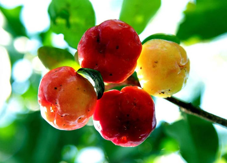 how to grow cherries in south africa
