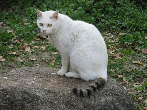 Gray And White Cat With Blue Eyes And White Tail