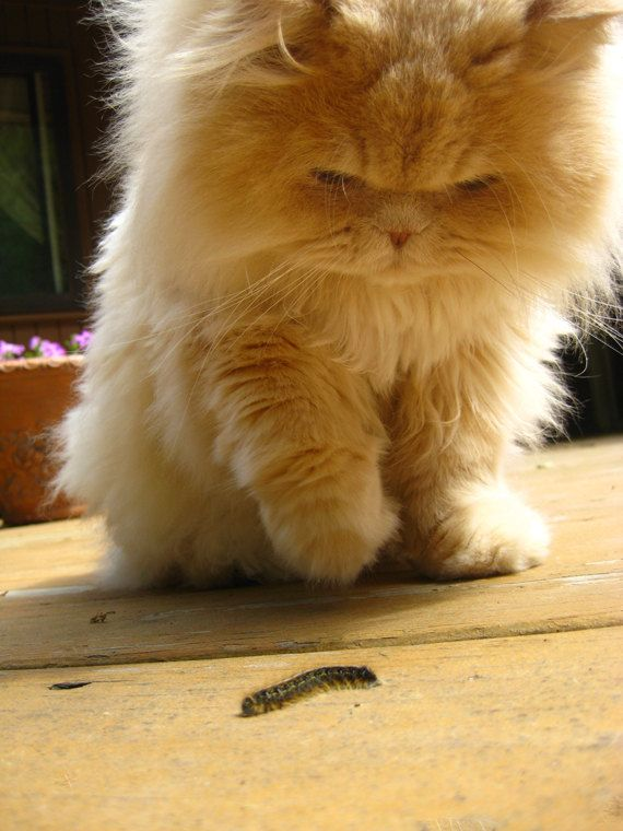 Furry Cat Photograph  Curious Beige Persian Kitty  by ZoeWithLove