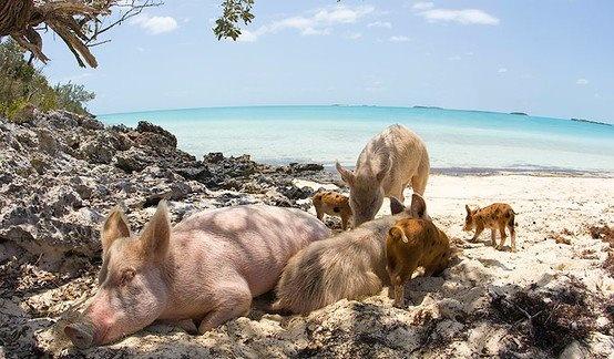 of feral pigs snooze in the shade on the idyllic uninhabited island ...