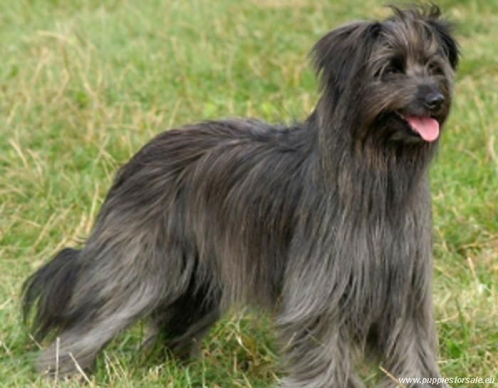 Blue Long-haired Pyrenean Sheepdog
