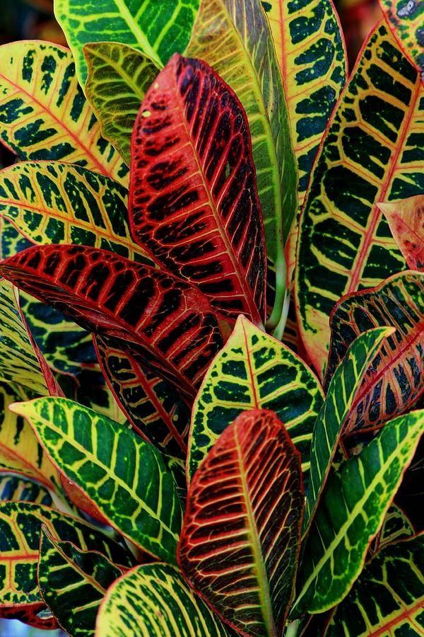 Croton plant plants tropical pinterest for Croton plant