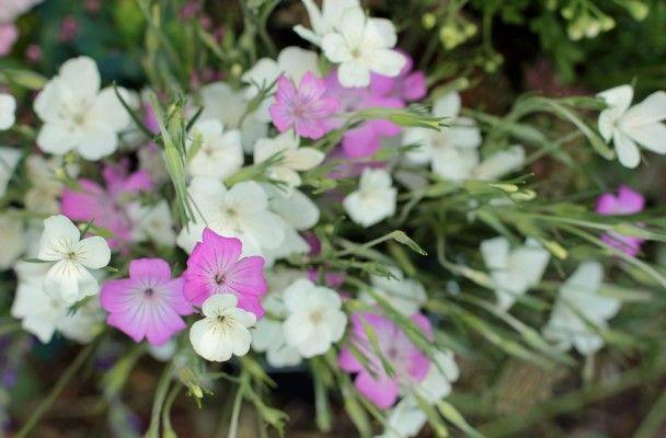 Agrostemma 'Ocean Pearls' | Flowers | Pinterest