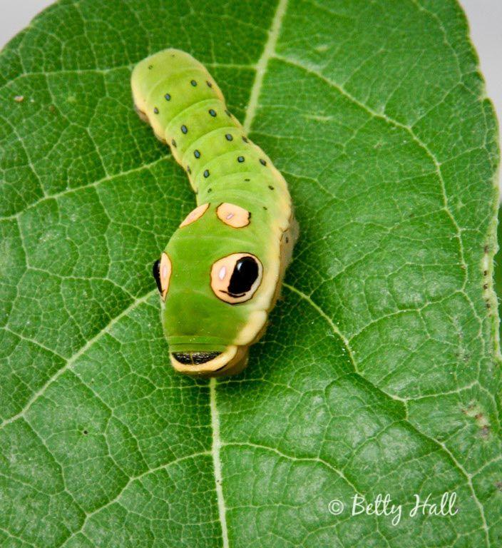 spicebush swallowtail caterpillar   spicebush swallowtail caterpillarZebra Swallowtail Caterpillar