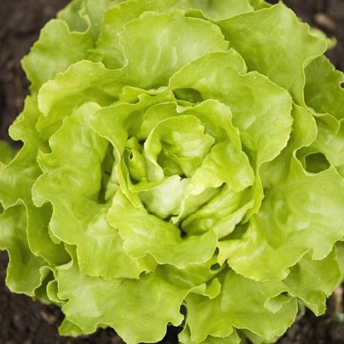Loose Leaf Lettuce Collection  4Loose Leaf Lettuce