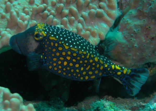 Spotted Boxfish Deep blue sea Pinterest