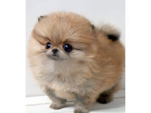 Teacup PomeranianTeacup Pomeranian Brown