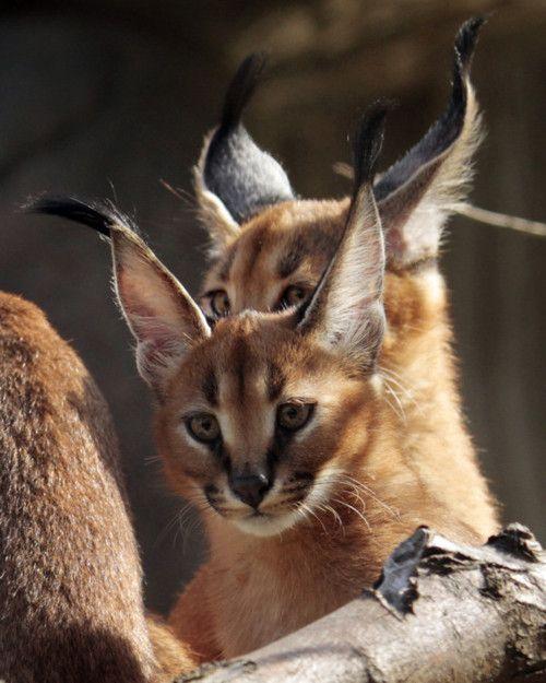 Caracal kittens | Make me smile | Pinterest