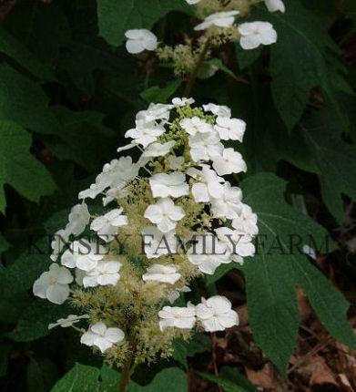 Hydrangea- Oakleaf  Alice Oakleaf Hydrangea Alice