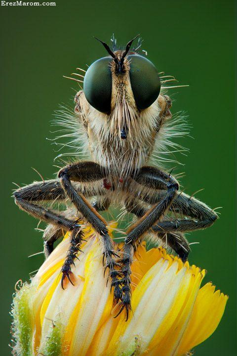 Fantastični insekti - Page 6 0b297358f712f63281d4a61c7fdccf89