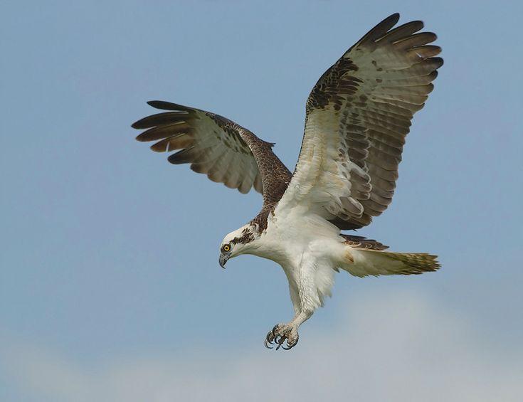 Osprey, Florida. | Florida - Birds | Pinterest