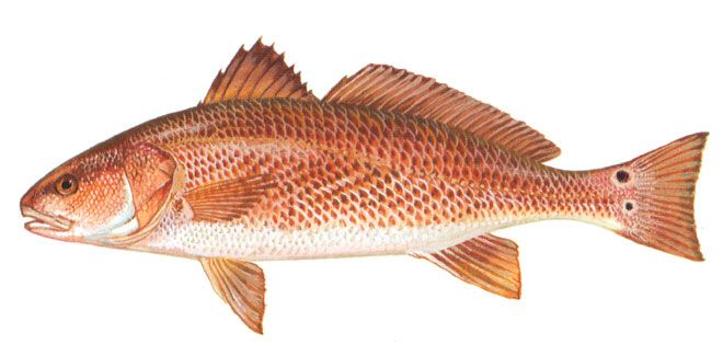 Red drum fish christmas winter themed marine organisms for Red drum fishing