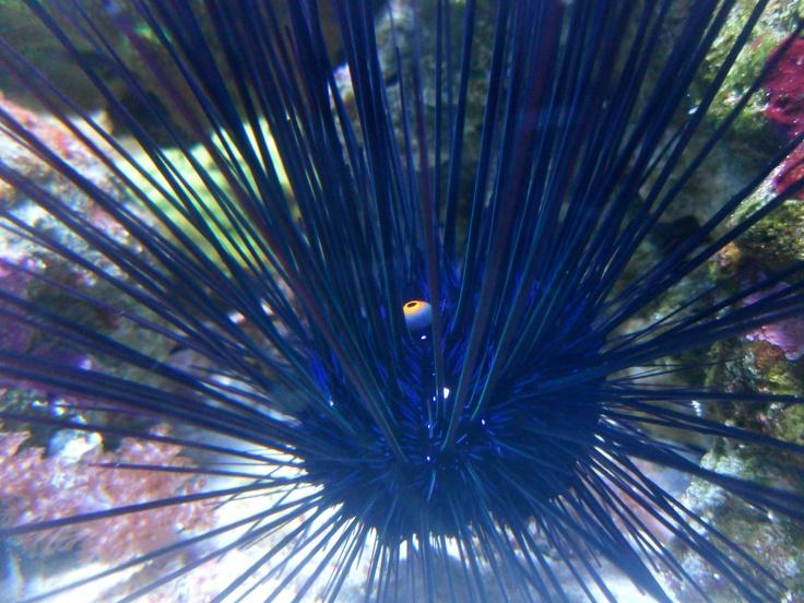 echinoderm | echinoderms | Pinterest Zoology Pictures Animals