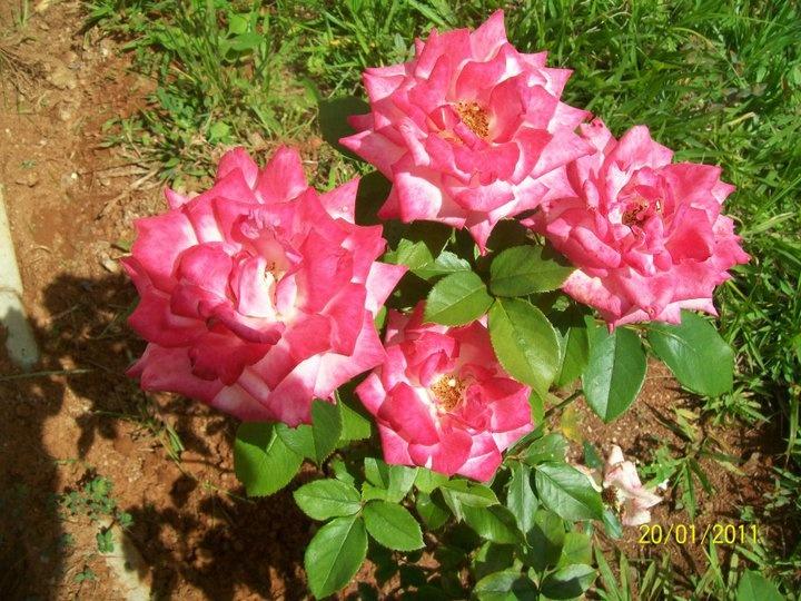 rosas do meu jardim para face : rosas do meu jardim para face ? Doitri.com
