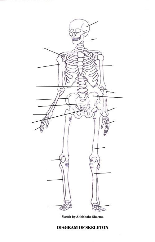 Human skeleton diagram no labels